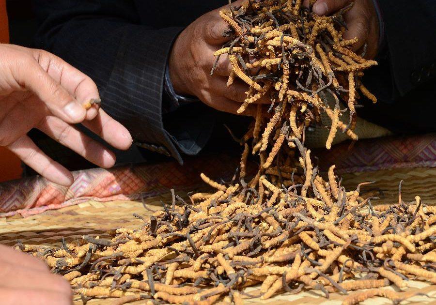 In China gilt Cordyceps seit Jahrtausenden als effektives Mittel gegen Erektionsstörungen