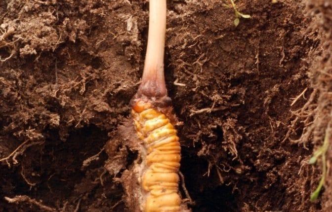 Cordyceps sinensis ist ein Pilz der gegen Impotenz helfen soll